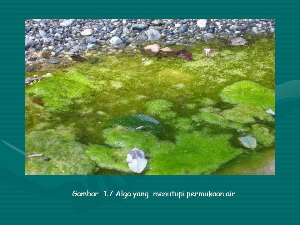 Gambar 1.7 Alga yang menutupi permukaan air