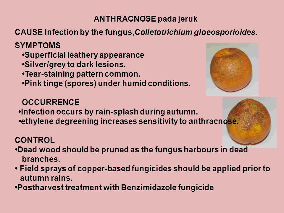ANTHRACNOSE pada jeruk