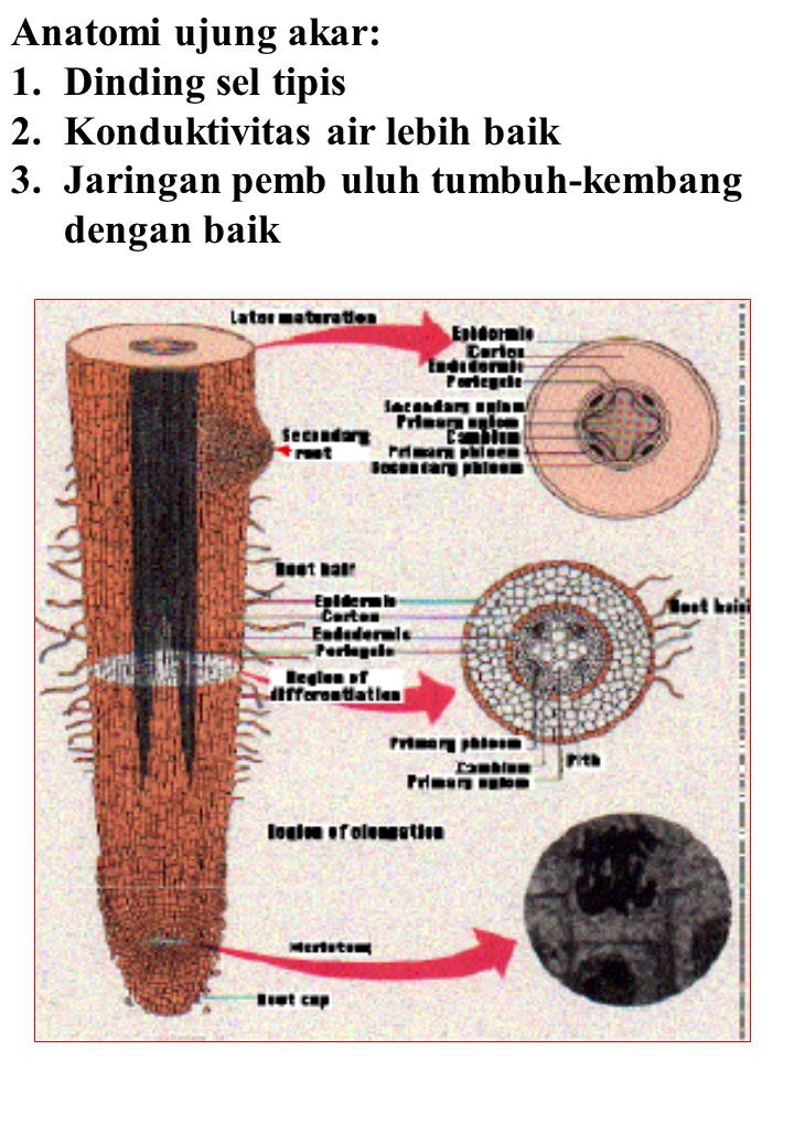 Anatomi ujung akar: Dinding sel tipis. Konduktivitas air lebih baik.