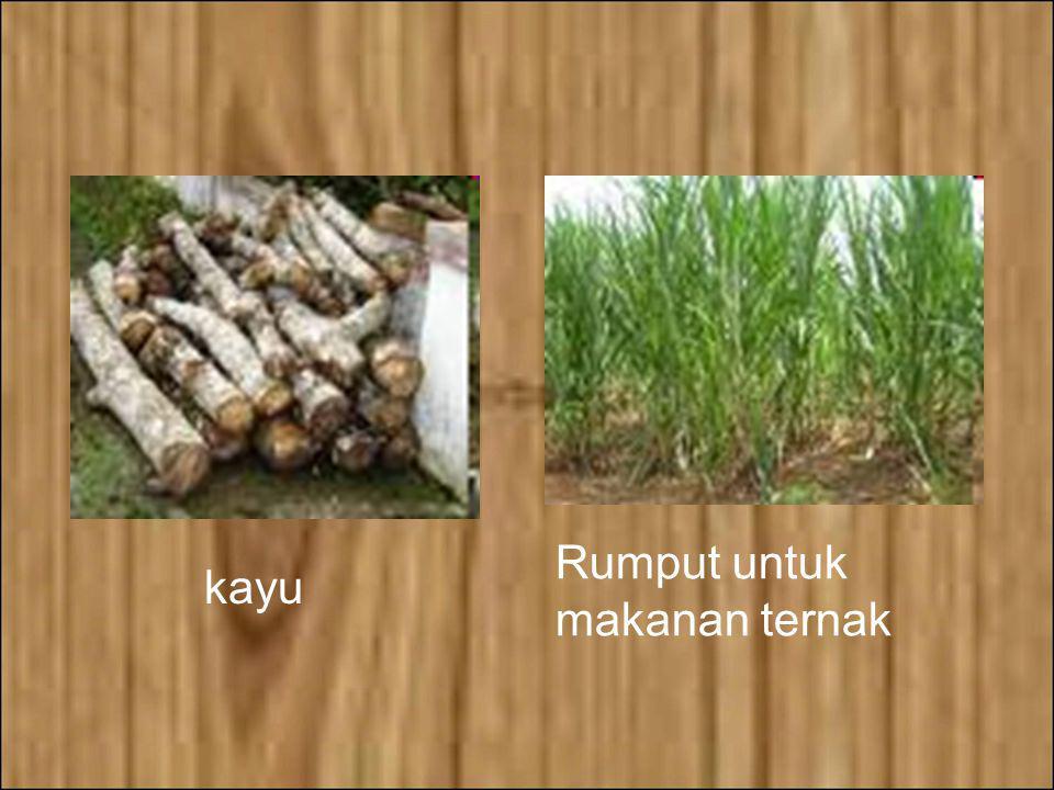 Rumput untuk makanan ternak kayu