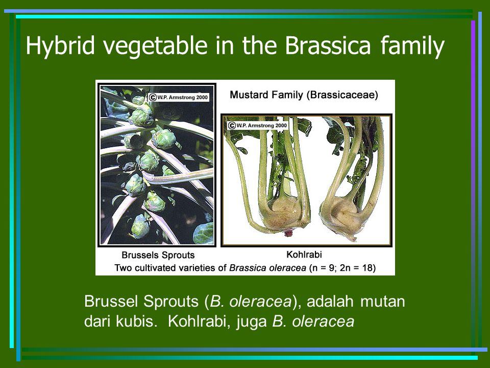 Hybrid vegetable in the Brassica family