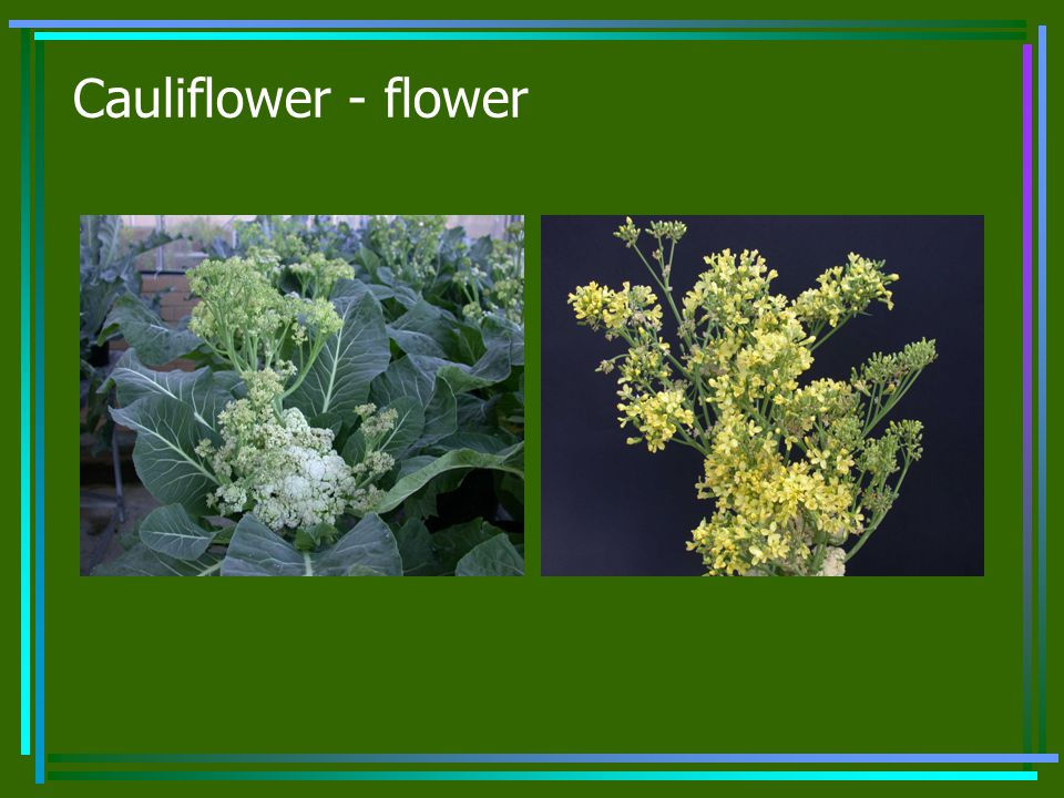Cauliflower - flower