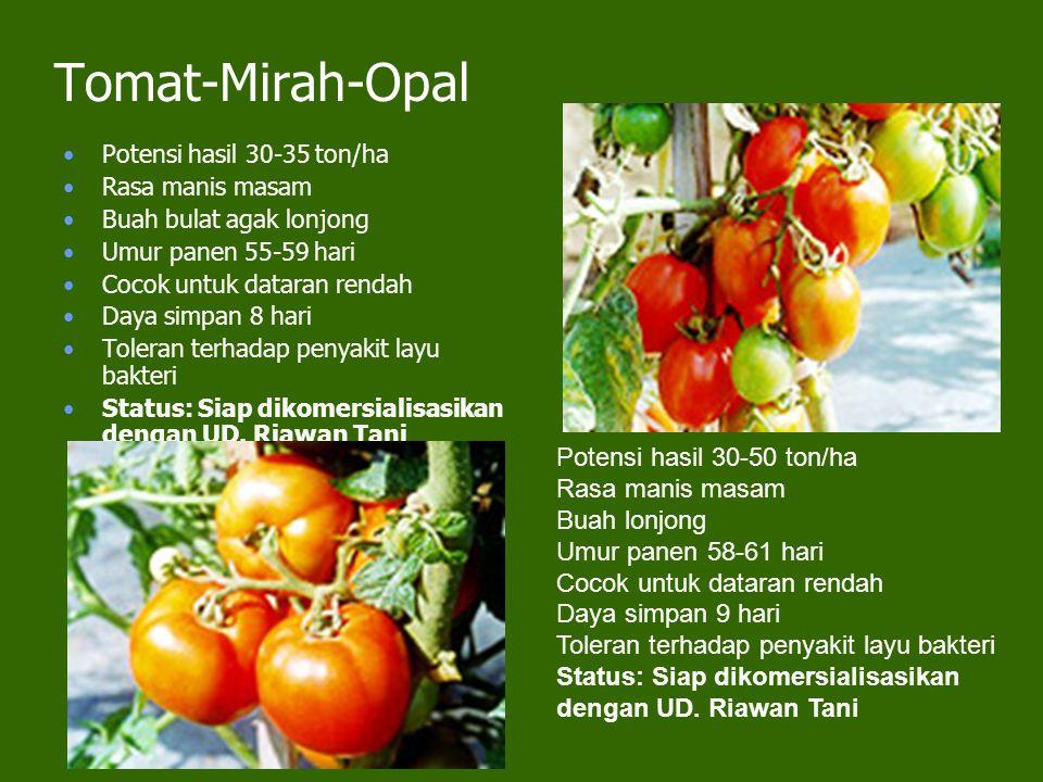 Tomat-Mirah-Opal Potensi hasil 30-50 ton/ha Rasa manis masam