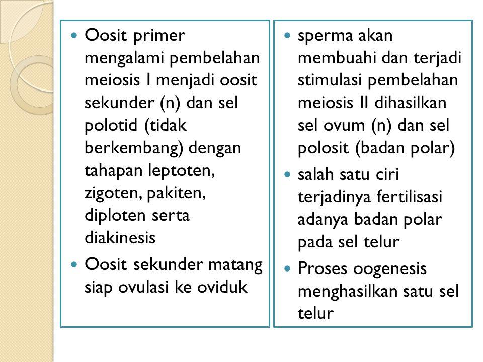 Oosit primer mengalami pembelahan meiosis I menjadi oosit sekunder (n) dan sel polotid (tidak berkembang) dengan tahapan leptoten, zigoten, pakiten, diploten serta diakinesis
