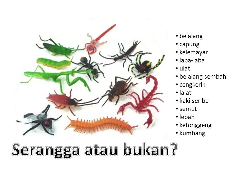 Serangga atau bukan belalang capung kelemayar laba-laba ulat