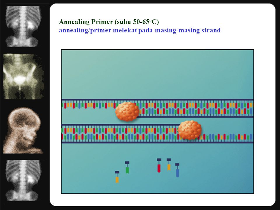 Annealing Primer (suhu 50-65oC) annealing/primer melekat pada masing-masing strand