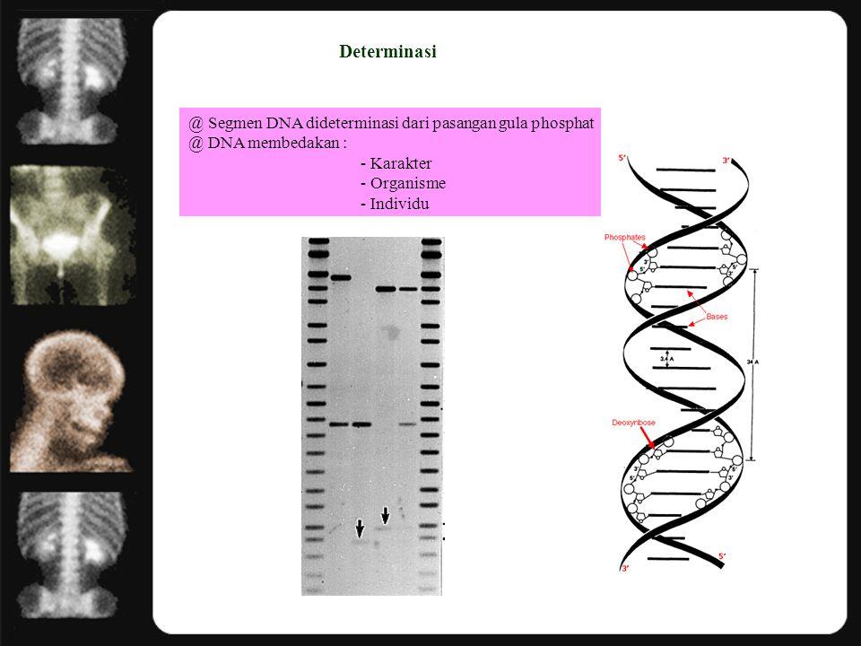 Determinasi @ Segmen DNA dideterminasi dari pasangan gula phosphat