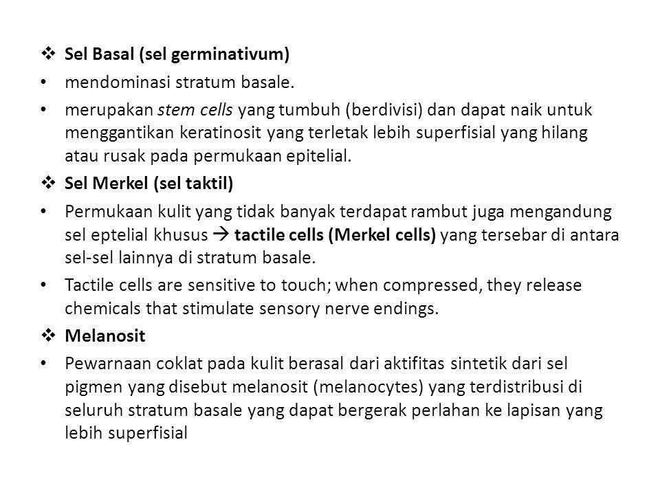Sel Basal (sel germinativum)