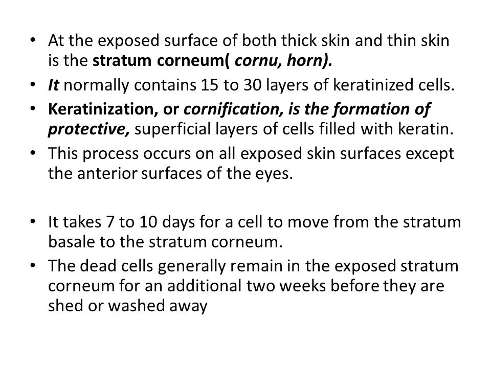 At the exposed surface of both thick skin and thin skin is the stratum corneum( cornu, horn).