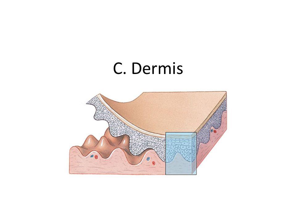 C. Dermis