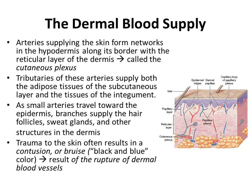 The Dermal Blood Supply
