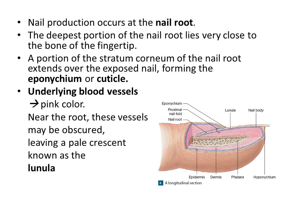 Nail production occurs at the nail root.