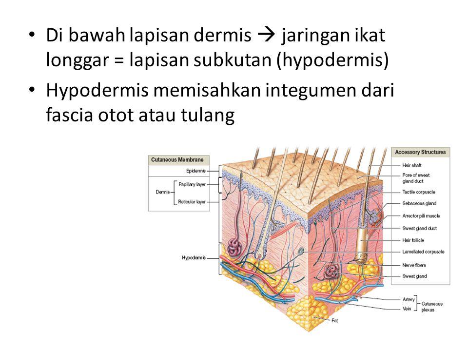 Di bawah lapisan dermis  jaringan ikat longgar = lapisan subkutan (hypodermis)