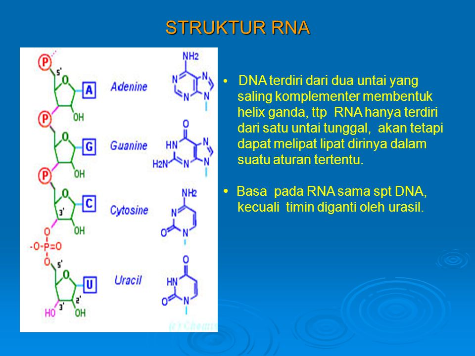 STRUKTUR RNA saling komplementer membentuk
