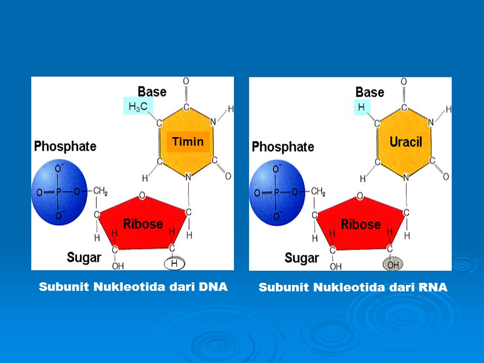 Subunit Nukleotida dari DNA Subunit Nukleotida dari RNA
