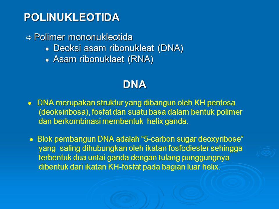 POLINUKLEOTIDA  Deoksi asam ribonukleat (DNA)