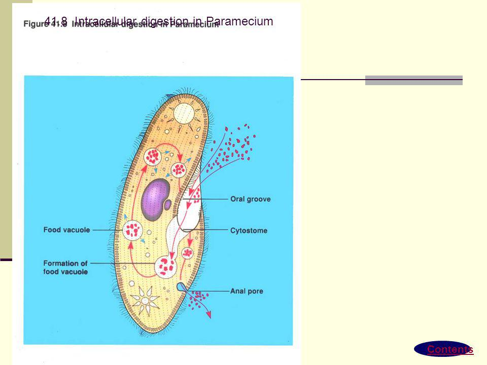 41.8 Intracellular digestion in Paramecium