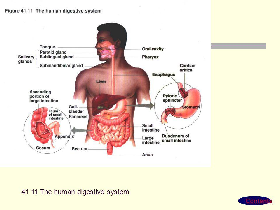 41.11 The human digestive system