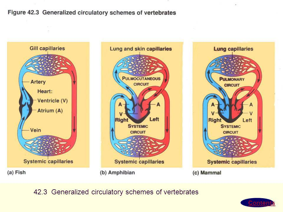 42.3 Generalized circulatory schemes of vertebrates