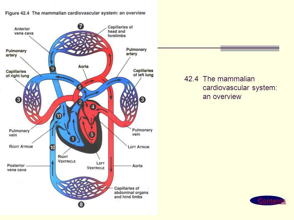 cardiovascular system: an overview