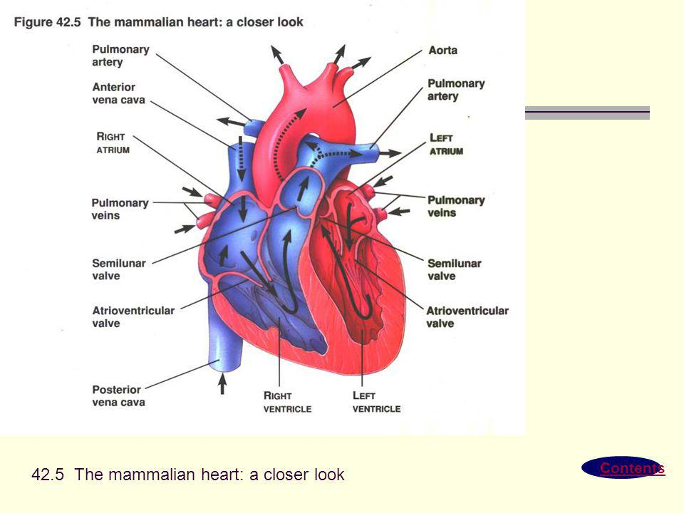 42.5 The mammalian heart: a closer look