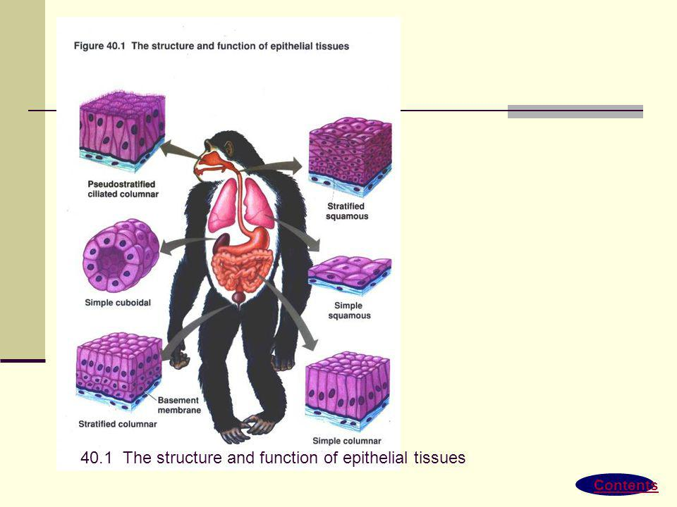 40.1 The structure and function of epithelial tissues