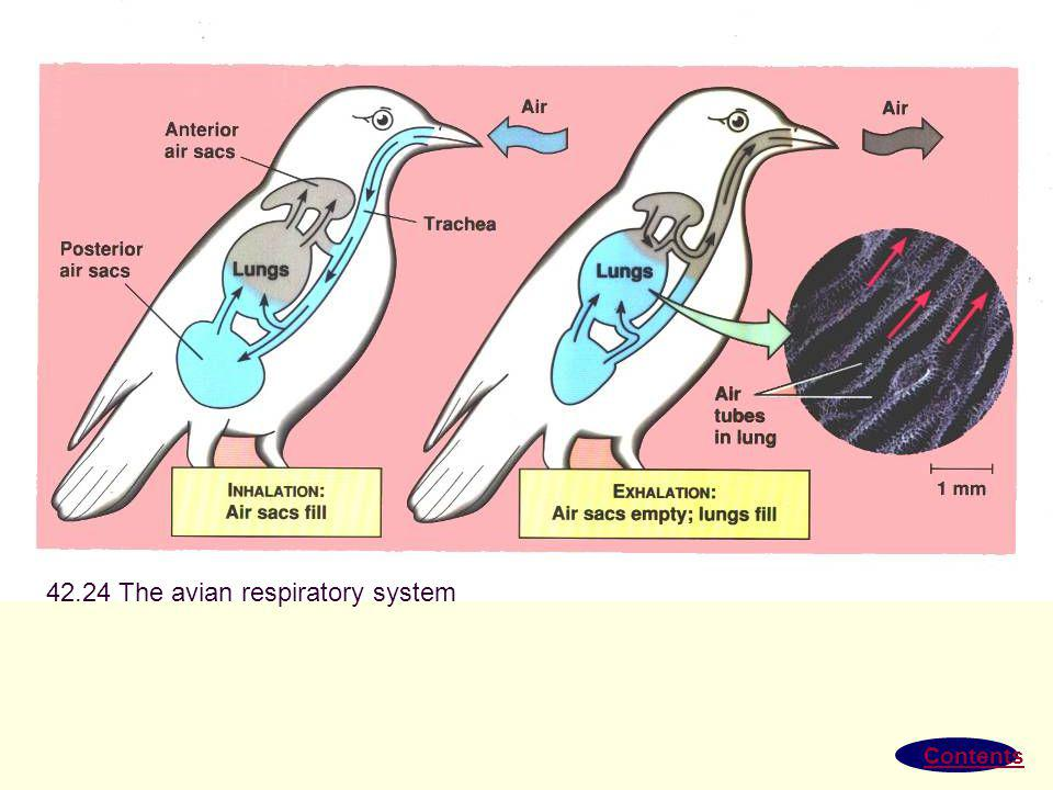 42.24 The avian respiratory system