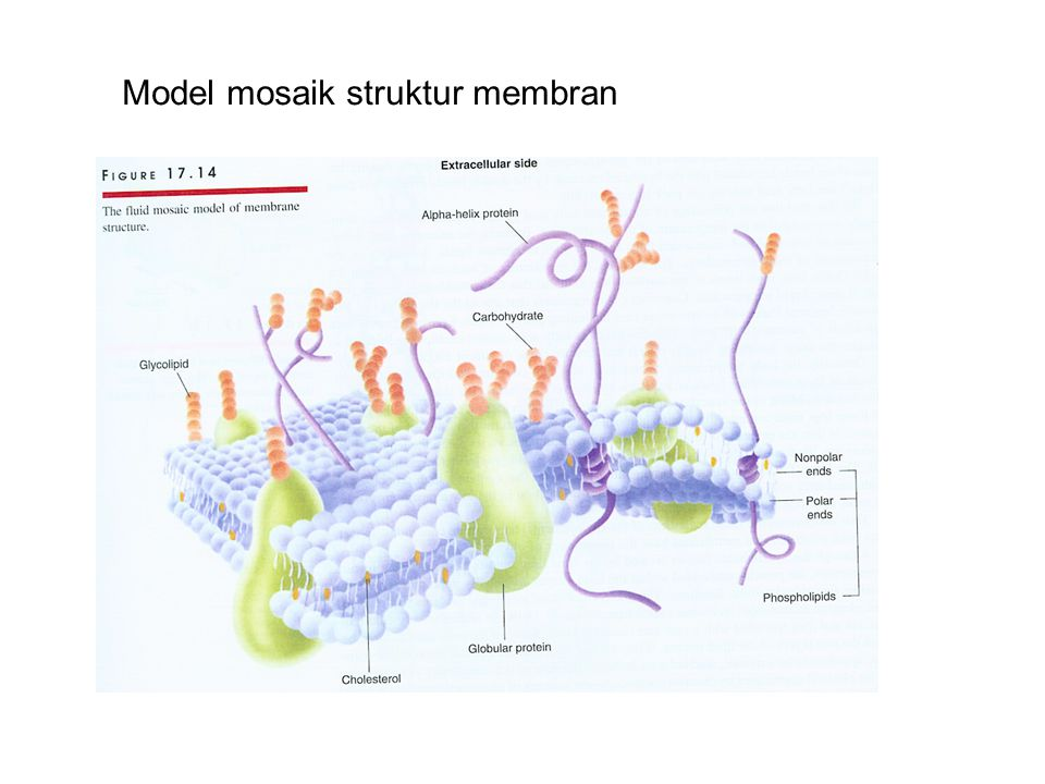 Model mosaik struktur membran