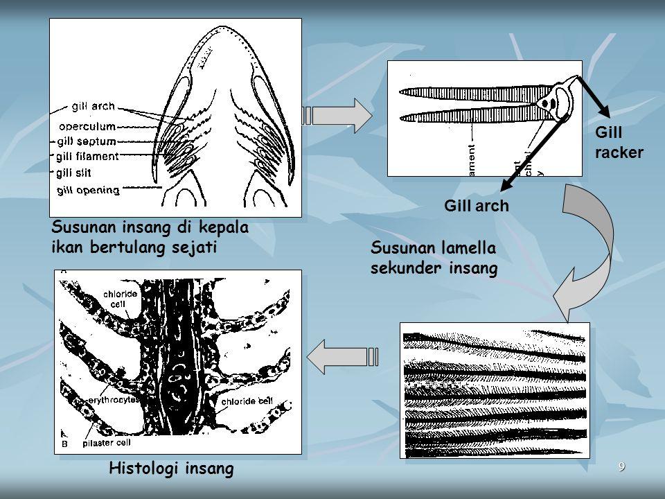 Gill racker Gill arch. Susunan insang di kepala ikan bertulang sejati. Susunan lamella sekunder insang.
