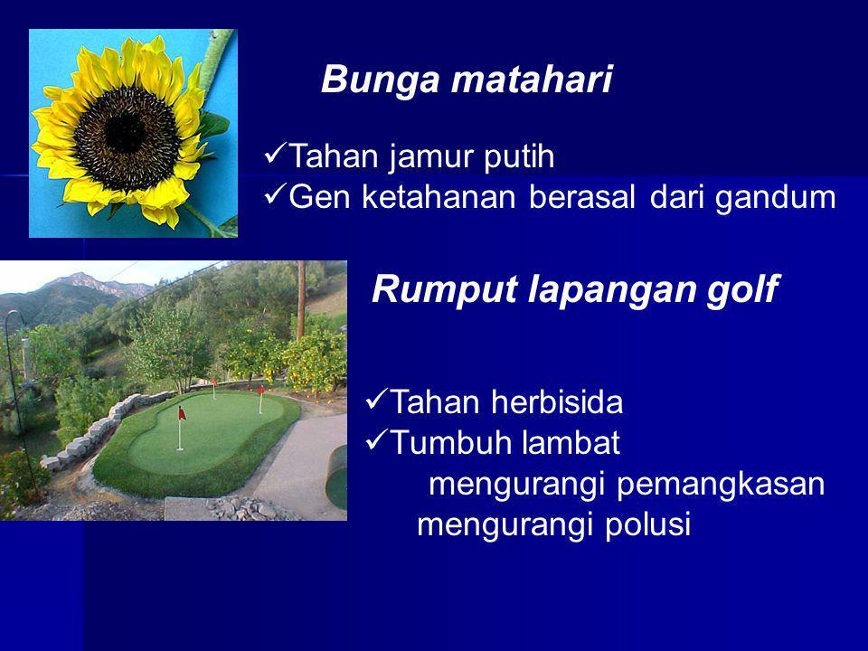 Bunga matahari Rumput lapangan golf Tahan jamur putih