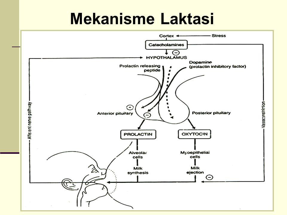 Mekanisme Laktasi