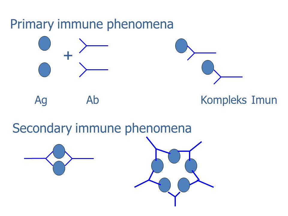 + Primary immune phenomena Secondary immune phenomena