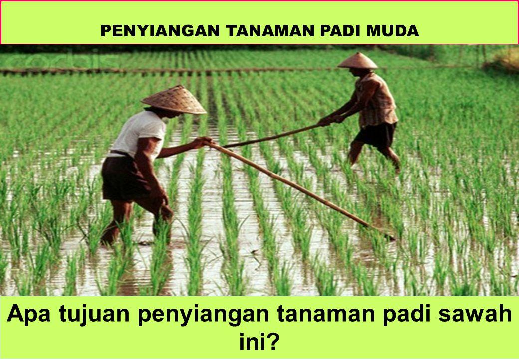 Apa tujuan penyiangan tanaman padi sawah ini