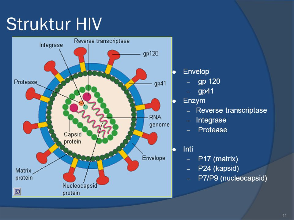 Struktur HIV Envelop gp 120 gp41 Enzym Reverse transcriptase Integrase