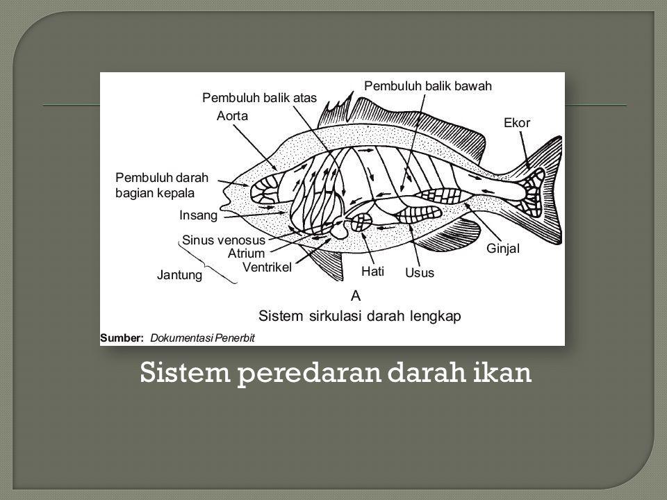 Sistem peredaran darah ikan