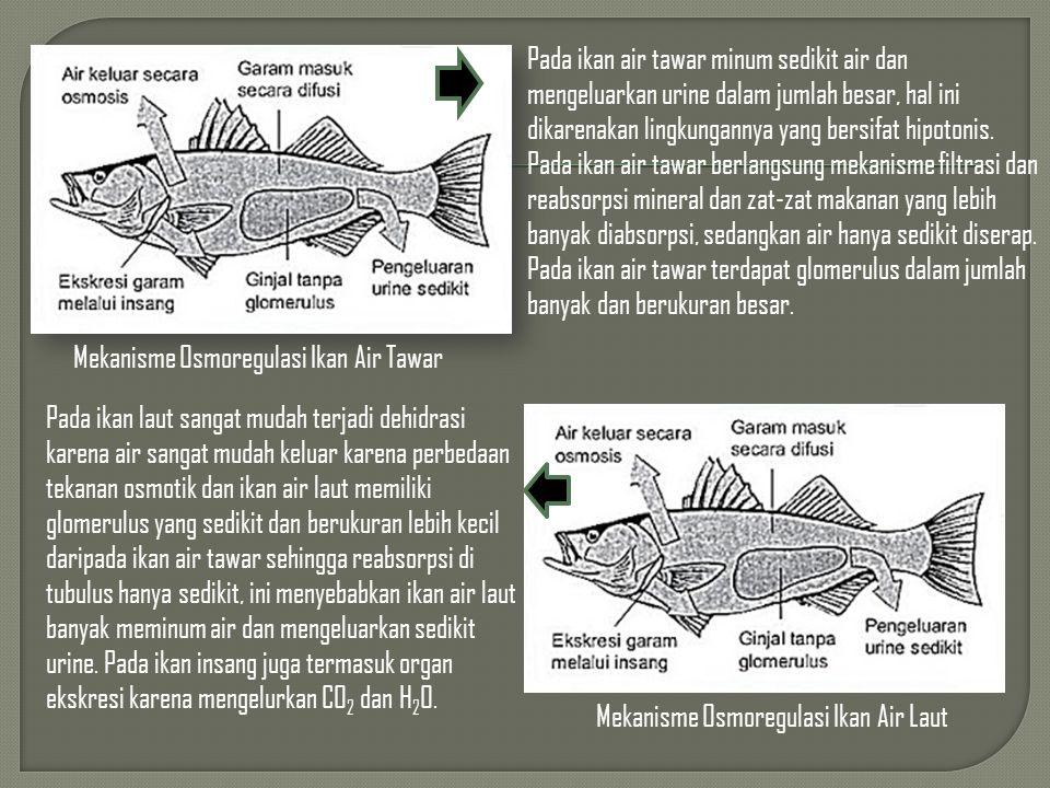Pada ikan air tawar minum sedikit air dan mengeluarkan urine dalam jumlah besar, hal ini dikarenakan lingkungannya yang bersifat hipotonis. Pada ikan air tawar berlangsung mekanisme filtrasi dan reabsorpsi mineral dan zat-zat makanan yang lebih banyak diabsorpsi, sedangkan air hanya sedikit diserap. Pada ikan air tawar terdapat glomerulus dalam jumlah banyak dan berukuran besar.