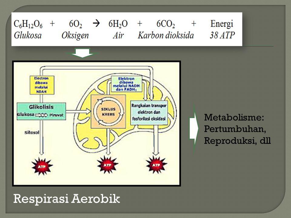 Metabolisme: Pertumbuhan, Reproduksi, dll Respirasi Aerobik