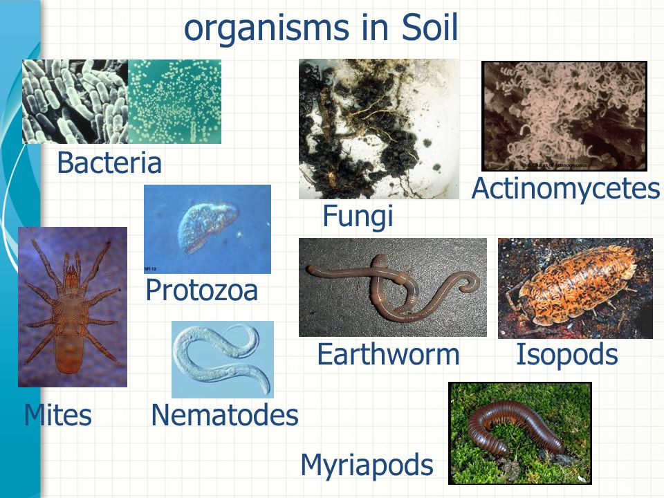 organisms in Soil Bacteria Actinomycetes Fungi Protozoa Earthworm