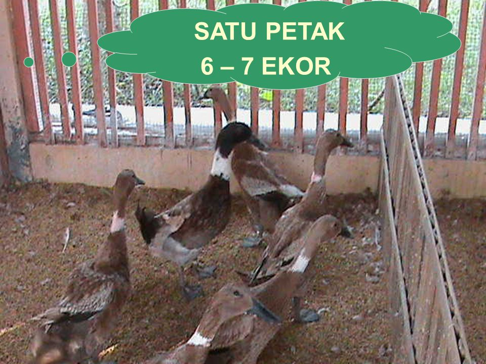 SATU PETAK 6 – 7 EKOR