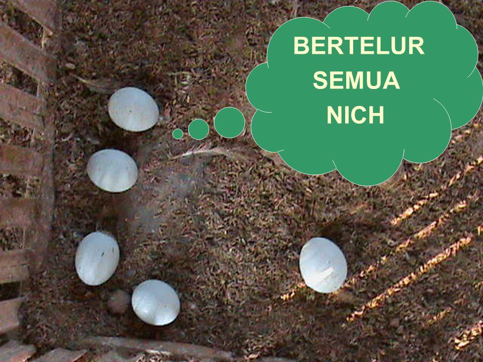 BERTELUR SEMUA NICH