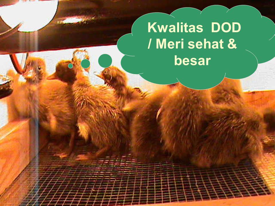 Kwalitas DOD / Meri sehat & besar