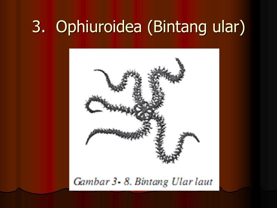 3. Ophiuroidea (Bintang ular)