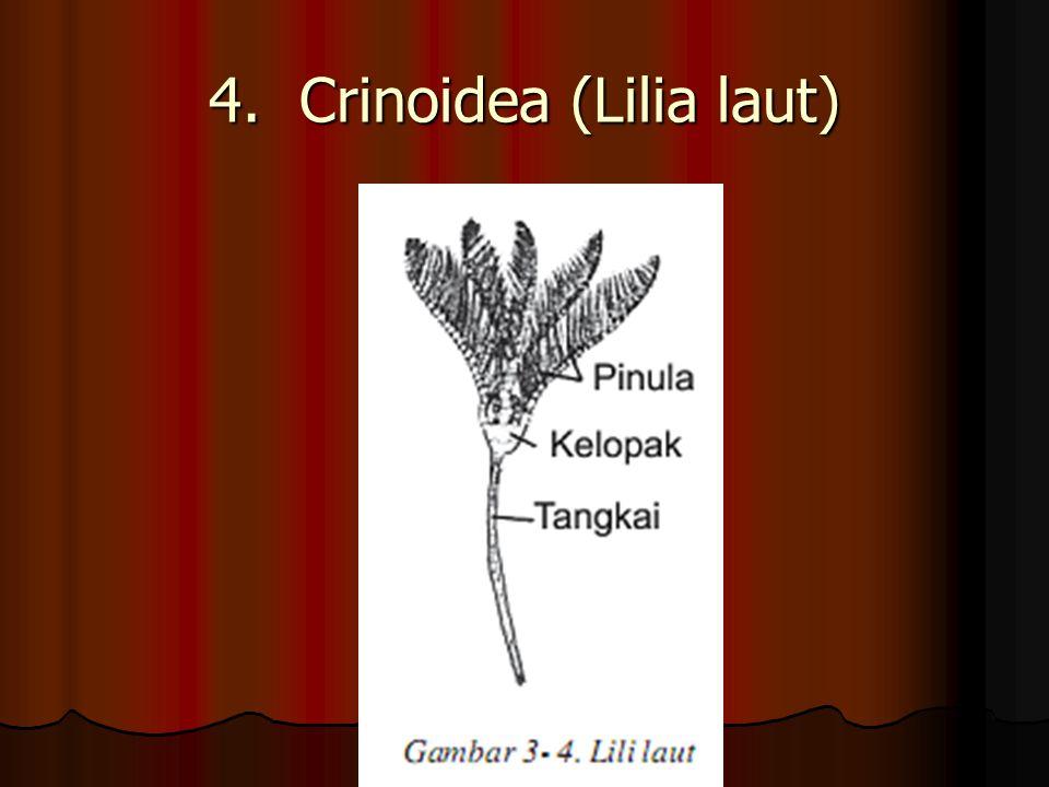 4. Crinoidea (Lilia laut)