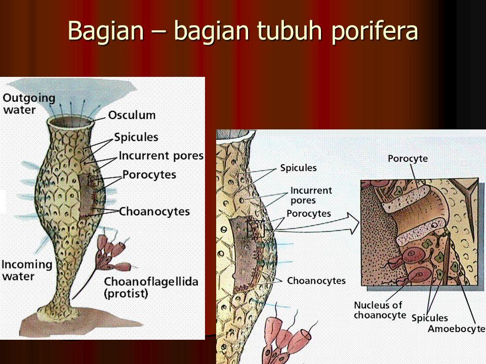 Bagian – bagian tubuh porifera