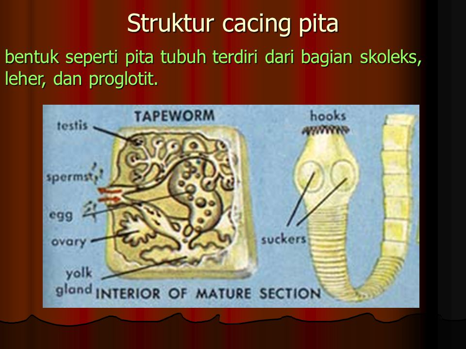 Struktur cacing pita bentuk seperti pita tubuh terdiri dari bagian skoleks, leher, dan proglotit.