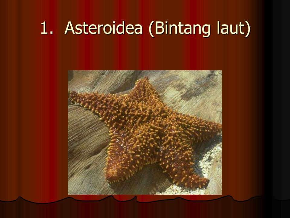 1. Asteroidea (Bintang laut)