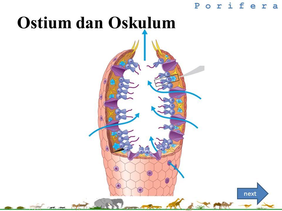 Ostium dan Oskulum P o r i f e r a next
