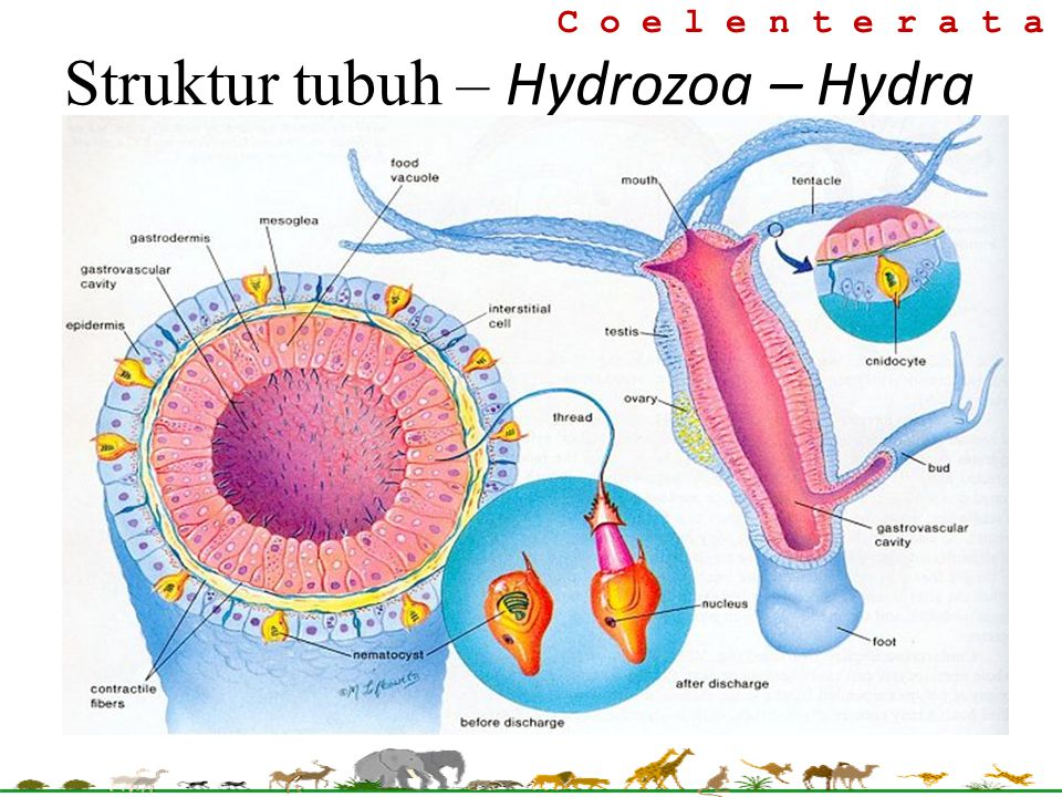 Struktur tubuh – Hydrozoa – Hydra