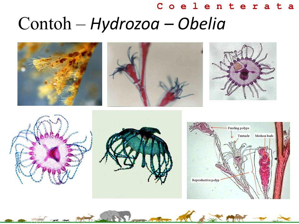 Contoh – Hydrozoa – Obelia