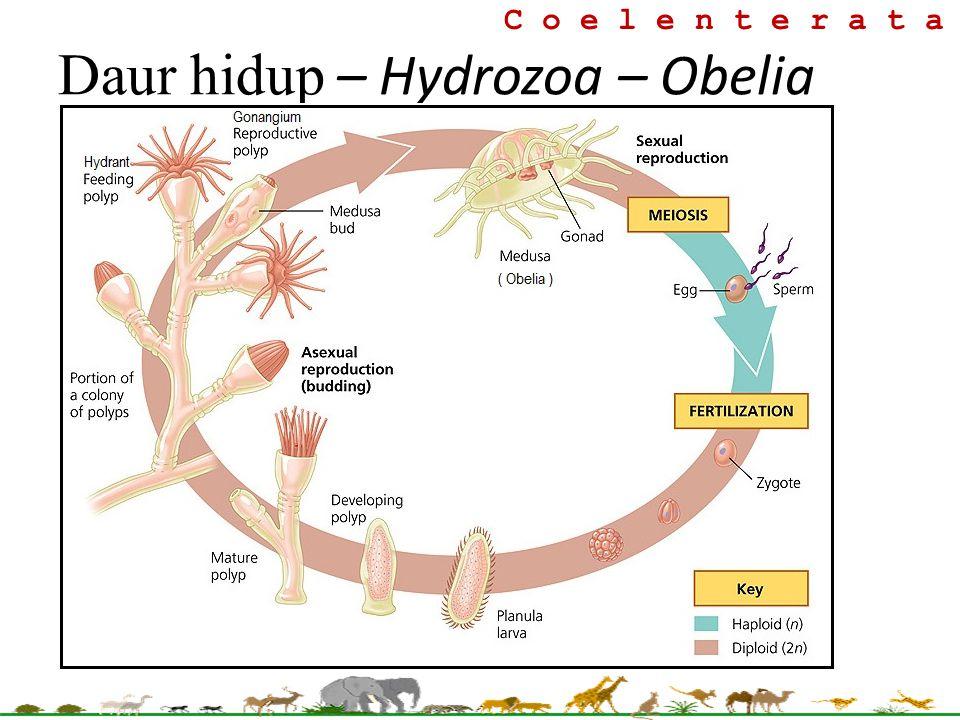 Daur hidup – Hydrozoa – Obelia